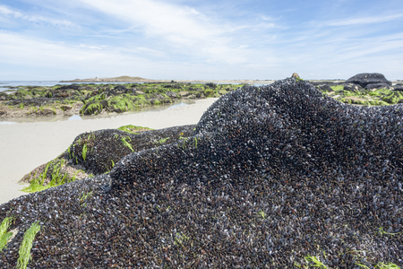 rock formation: beach scenery in Brittany including a rock formation which is dense overgrown with dark bivalves in sunny ambiance Stock Photo