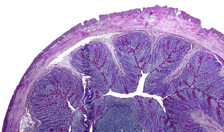 intestino grueso: detalle microscópico del intestino grueso de una rata