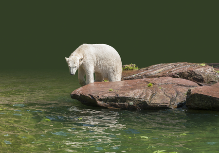 moistness: Polar bear on a rock formation in wet ambiance, partly isolated Stock Photo