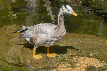 moistness: sunny scenery including a bar-headed goose in wet ambiance Stock Photo