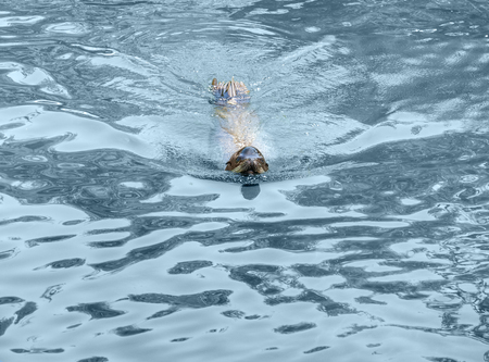 moistness: common otter swimming in blue water ambiance Stock Photo