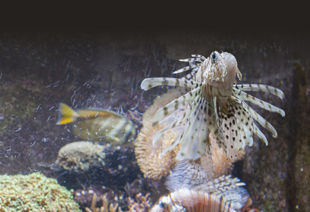 a lionfish in underwater ambiance