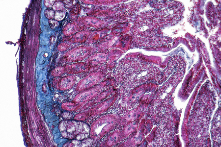 duodenum: full frame duodenum cross section micrography Stock Photo