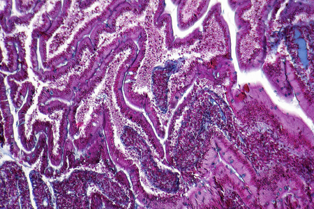 small bowel: full frame duodenum cross section micrography Stock Photo