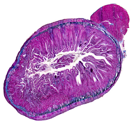 duodenum: duodenum cross section micrography in white back