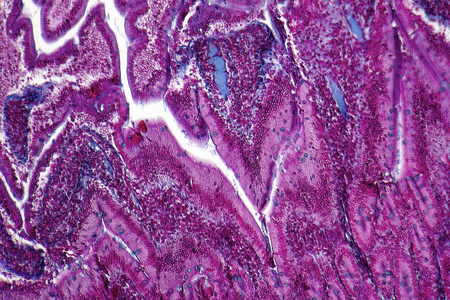 small bowel: full frame duodenum cross section micrography from a rat Stock Photo