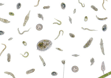 eukaryotic: micrography showing lots of various freshwater microorganisms in light back