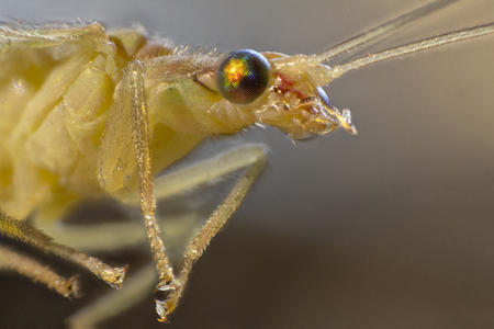 chrysopidae: macro shot  showing the head of a green lacewing