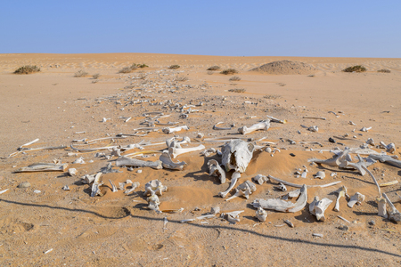 desert scenery including lots of bleached animal bones seen in Namibia, Africa