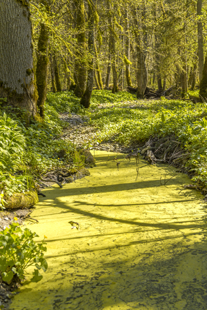 sunny illuminated idyllic forest scenery including a overgrown tarn at early spring time Stock Photo