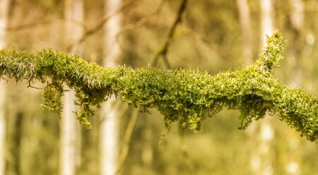 macro shot of a mossy overgrown twig in warm blurry forest ambiance Stock Photo