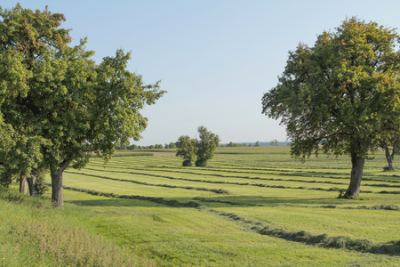 mowed meadow with fruit trees at late summer time