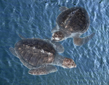 young sea turtles in blue water seen from above