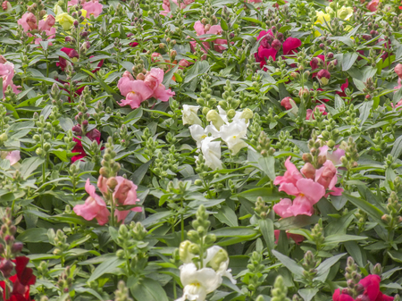 common snapdragon: closeup shot showing lots of various snapdragon flowers in green leaves ambiance