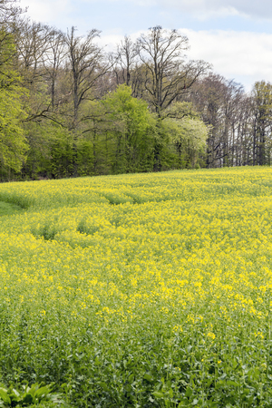 canola: yellow flowering field of rapeseed at spring time in rural ambiance