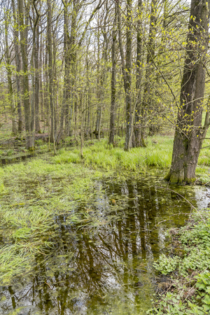 swamp scenery in a forest at early spring time