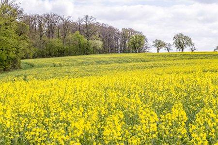 yellow flowering field of rapeseed at spring time in rural ambiance