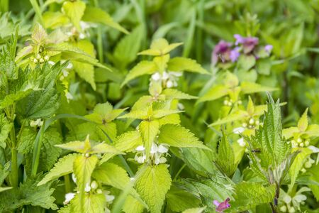 flowering dead-nettles closeup in natural ambiance Stock Photo