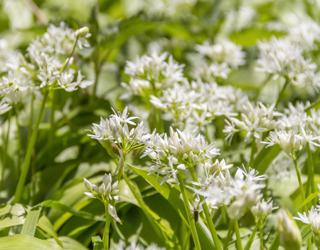 ramsons blosoms with some insects closeup Stock Photo