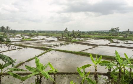paddy fields located in Java, a island of Indonesia