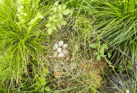 nest of a duck with some eggs in natural ambiance seen from above