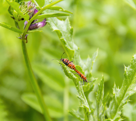 reproduction animal: two copulating firebugs in green leavy ambiance