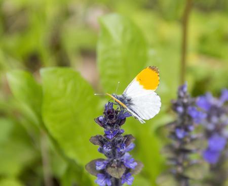 orange tip butterfly on blue flower