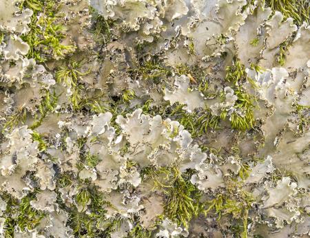detail of  a endangered lichen species named Scaly Dog Lichen Stok Fotoğraf