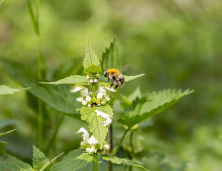 honeybee on dead-nettle flower in sunny ambiance