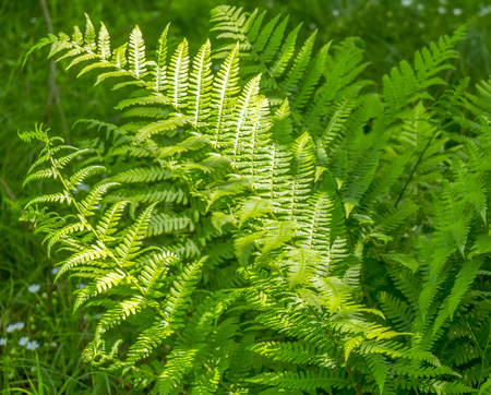 fresh green fern leaves in forest ambiance Stock Photo