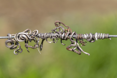 abstract detail of some sere tendrils seen at a vineyard