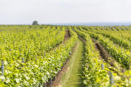 봄철에 독일의 라인란 트 - 팔츠 (Rhineland-Palatinate)에있는 Loerzweiler 주변의 포도밭 풍경