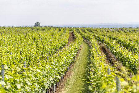 winegrowing scenery around Loerzweiler in the Rhineland-Palatinate in Germany at spring time