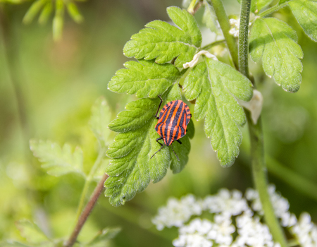 Italian striped bugs in natural green ambiance at spring time Stock Photo