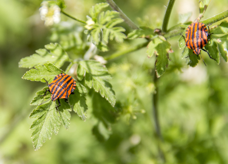Two Italian striped bugs in natural green ambiance at spring time
