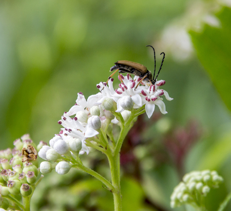 a longhorn beetle on flower head in green sunny ambiance Stock Photo
