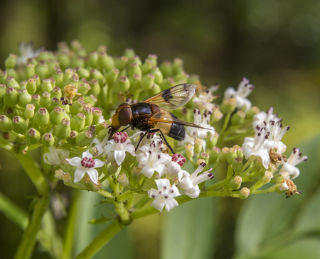 hoverfly named Pellucid Fly resting on a flower head in natural bacl