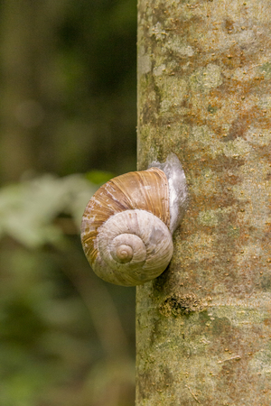 encapsulated land snail on tree trunk in natural ambiance Stock Photo
