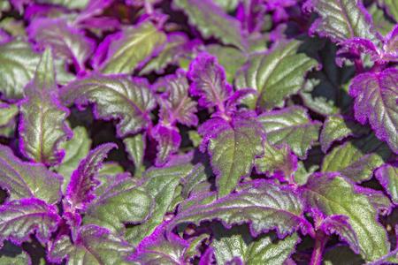 サンシチソウ属葉紫の綿毛といくつかの緑の詳細ショット
