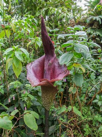 조밀 한 식물 환경에있는 titan 아룸 식물 스톡 콘텐츠