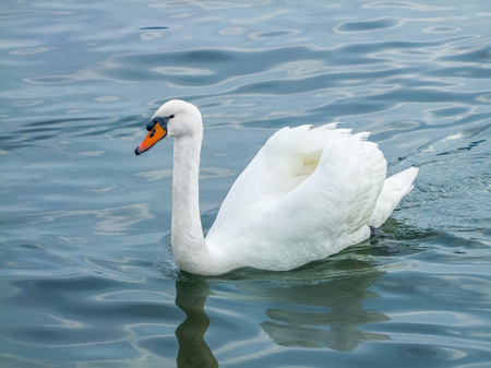 swimming swan on water surface