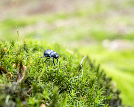 dung beetle in mossy ambiance Stock Photo