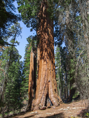 scenery at the Sequoia and Kings Canyon National Park with sequoia trees in California, USA Stock Photo