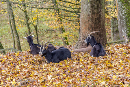 some goats resting around a tree in autumn ambiance