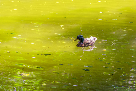 sunny scenery showing a mallard swimming in a lake at summer time