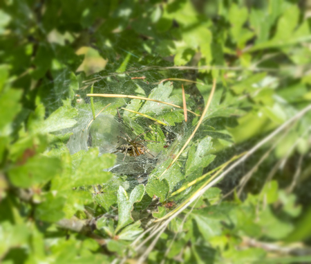 spider web including a funnel-web spider in sunny ambiance