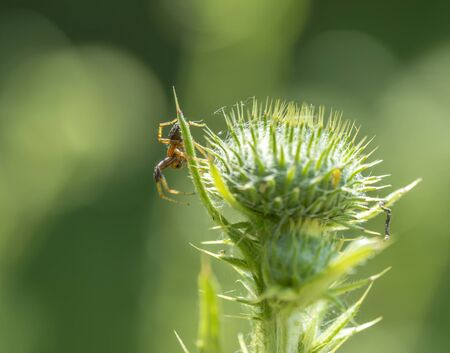 spider on thistle in natural sunny ambiance