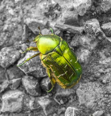 iridescent flower chafer on stony ground