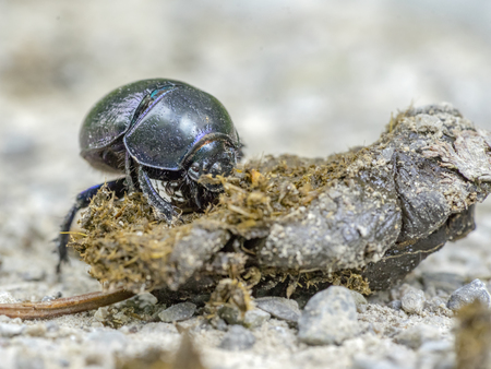 low angle closeup shot showing a dung beetle with dung Stock Photo