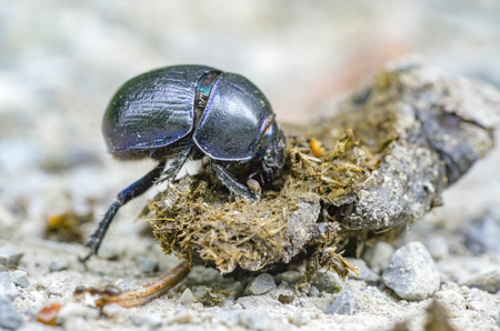 low angle closeup shot showing a dung beetle with dung Banque d'images